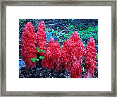 Snowflower Pow Wow Framed Print by Sean Sarsfield
