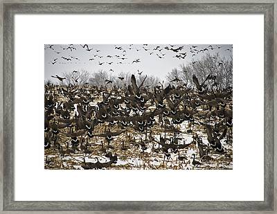 Snowgeese Galore Framed Print