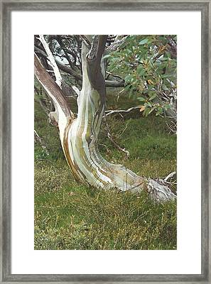 Snowgum Maiden Framed Print by Adrianne Wood