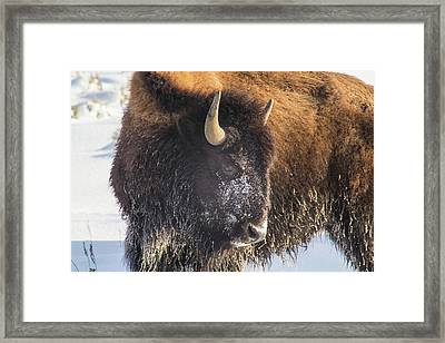 Snowy Bison Framed Print