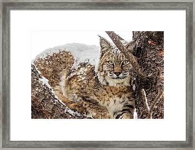 Snowy Bobcat Framed Print