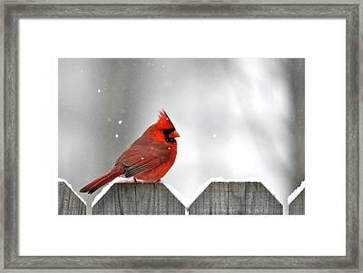 Snowy Cardinal Framed Print by Debbie Sikes