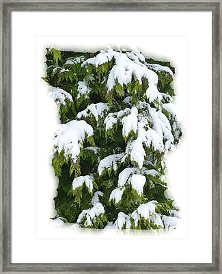 Framed Print featuring the photograph Snowy Cedar Boughs by Will Borden