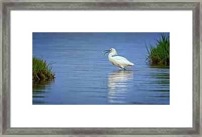 Snowy Egret At Dinner Framed Print by Rick Berk