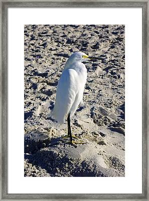 Snowy Egret At Naples, Fl Beach Framed Print