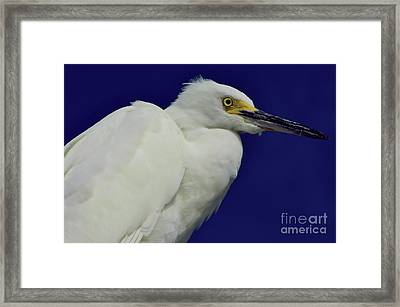 Snowy Egret Beauty Framed Print by D Hackett