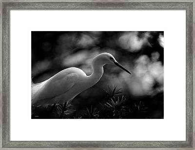 Snowy Egret Bw Framed Print