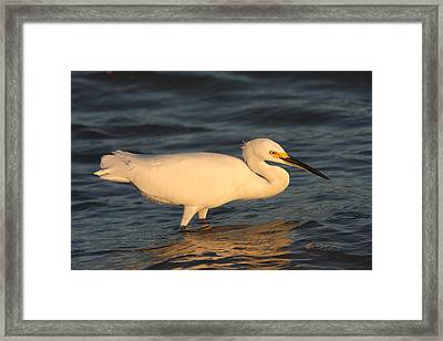 Snowy Egret By Sunset Framed Print by Christiane Schulze Art And Photography