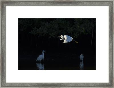 Snowy Egret Gliding In The Morning Light Framed Print