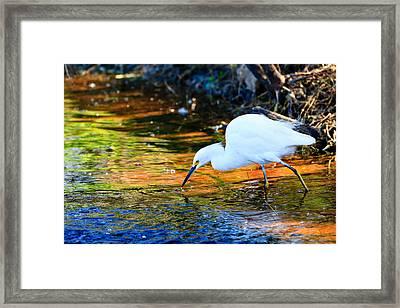 Snowy Egret Hunting 2 Framed Print