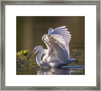 Snowy Egret Hunting - Egretta Thula Framed Print