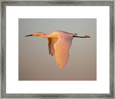 Snowy Egret In Flight At Sunset Framed Print