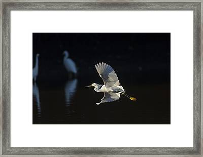 Snowy Egret In Flight In The Morning Light Framed Print