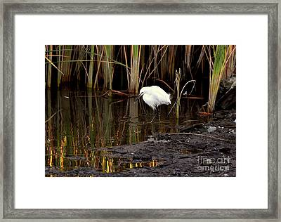 Snowy Egret In Late Afternoon Framed Print