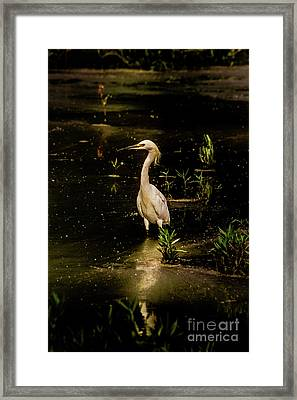 Snowy Egret In Low Light Framed Print