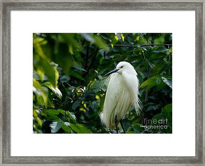 Snowy Egret In The Trees Framed Print