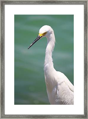 Snowy Egret In Turquoise Framed Print