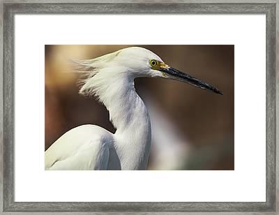 Snowy Egret Framed Print by Jason Moynihan