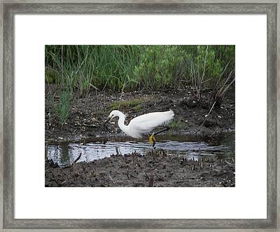 Framed Print featuring the photograph Snowy Egret  On The Prowl by Daniel Hebard