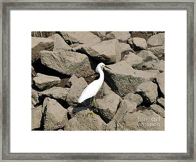 Snowy Egret On The Rocks Framed Print