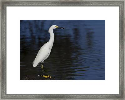 Snowy Egret Perched On A Rock Framed Print