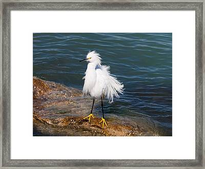 Framed Print featuring the photograph Snowy Egret by Phil Stone
