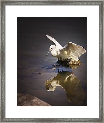 Snowy Egret Reflection Framed Print by Janis Knight