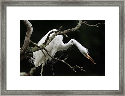 Snowy Egret Setauket New York Framed Print