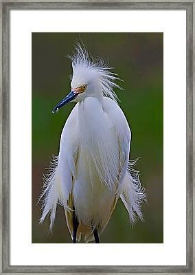 Snowy Egret Struts Framed Print