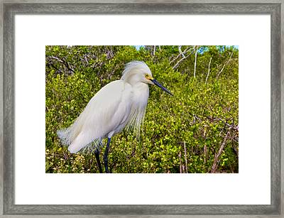 Snowy Egret Framed Print by William Wetmore
