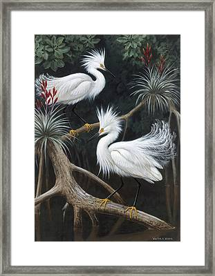 Snowy Egrets Display Their Courtship Framed Print by Walter A. Weber