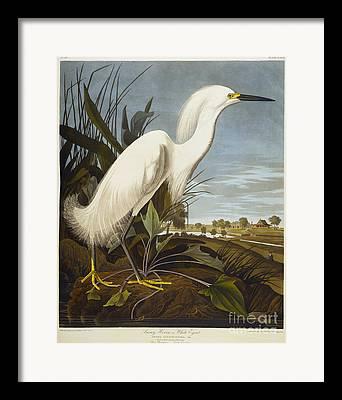 Snowy Egret Framed Prints