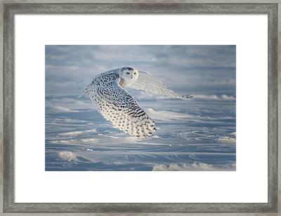 Snowy In Flight Framed Print by Cheryl Schneider
