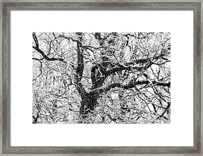 Snowy Oak Framed Print