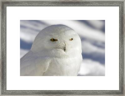 Snowy Owl - Harfang Des Neiges Framed Print