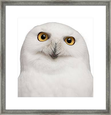 Snowy Owl -bubo Scandiacus Framed Print by Life On White