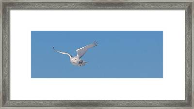 Framed Print featuring the photograph Snowy Owl - Dive by Dan Traun