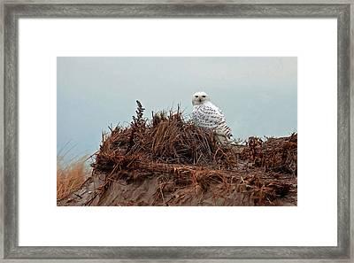 Snowy Owl In Dunes Framed Print