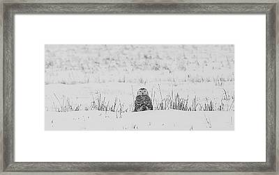 Snowy Owl In Snowy Field Framed Print by Carrie Ann Grippo-Pike