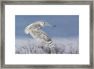 Snowy Owl Framed Print by Mircea Costina