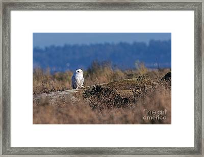 Framed Print featuring the photograph Snowy Owl On Log by Sharon Talson