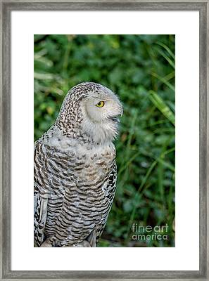 Framed Print featuring the photograph Snowy Owl by Patricia Hofmeester