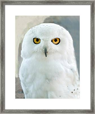 Snowy Owl Portrait Framed Print