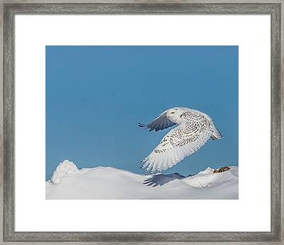 Framed Print featuring the photograph Snowy Owl - Taking Flighty by Dan Traun