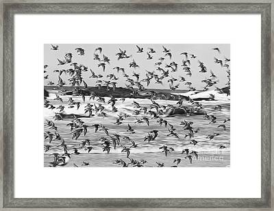 Snowy Plovers Framed Print