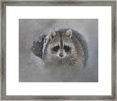 Snowy Raccoon Framed Print