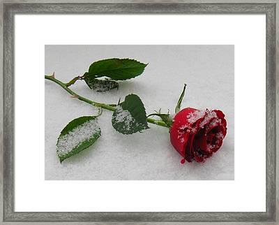 Richard's  Rose Framed Print