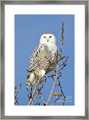 Snowy Stare Framed Print