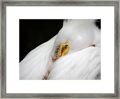 Snuggled White Pelican Framed Print by Penny Lisowski