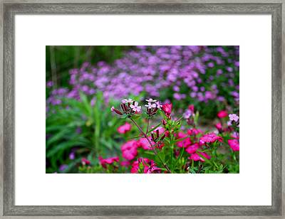 Framed Print featuring the photograph Soapwort And Pinks by Kathryn Meyer